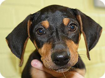 Dachshund Mix Puppy for adoption in Groton, Massachusetts - Susie