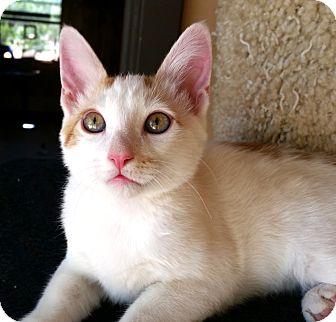 Domestic Shorthair Kitten for adoption in Mountain Center, California - Hermes
