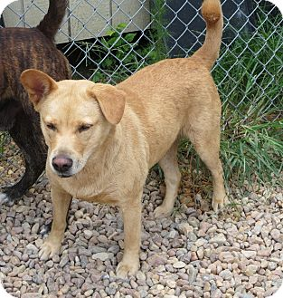 Labrador Retriever/Chow Chow Mix Dog for adoption in Elizabeth City, North Carolina - Chloe May