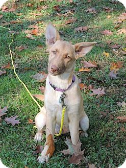 Shepherd (Unknown Type) Mix Puppy for adoption in North Haverhill, New Hampshire - Ruby