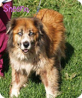 St. Bernard Mix Dog for adoption in Lewisburg, West Virginia - Sheena