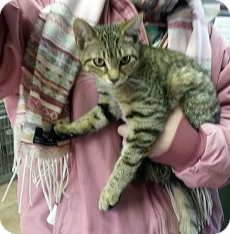 Domestic Shorthair Kitten for adoption in Albion, New York - Gyro