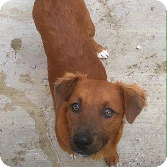 German Shepherd Dog/Golden Retriever Mix Puppy for adoption in Westminster, California - Temperance