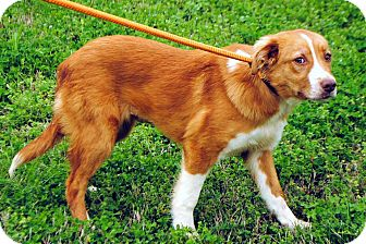 Australian Shepherd Mix Puppy for adoption in Salem, New Hampshire - PUPPY BRANDY