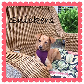 Corgi Mix Dog for adoption in Brownsville, Texas - Snickers