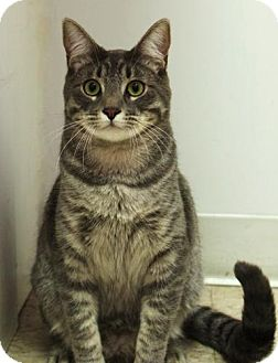 Domestic Mediumhair Cat for adoption in Studio City, California - Bing