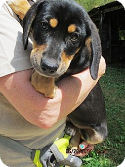 Labrador Retriever/Australian Shepherd Mix Puppy for adoption in Lincolndale, New York - Akira