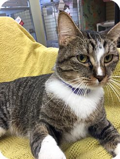 Domestic Shorthair Cat for adoption in Maryville, Missouri - Cory