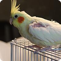 Adopt A Pet :: Birdie - St. Louis, MO