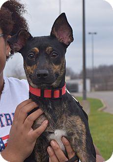 Miniature Pinscher Mix Puppy for adoption in Washington, Pennsylvania - Lolah