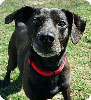 Manchester Terrier Mix Dog for adoption in Lisbon, Ohio - Whiskey