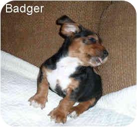 Basset Hound Mix Puppy for adoption in Phoenix, Arizona - Badger