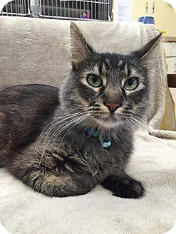 Domestic Mediumhair Cat for adoption in Maryville, Missouri - Binx