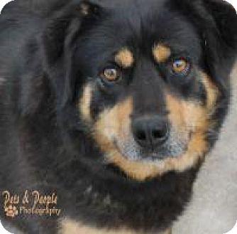 Shepherd (Unknown Type)/Anatolian Shepherd Mix Dog for adoption in Yukon, Oklahoma - Biscuit