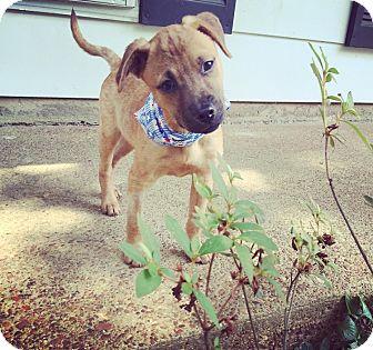 German Shepherd Dog/Boxer Mix Puppy for adoption in Chicago, Illinois - Wren