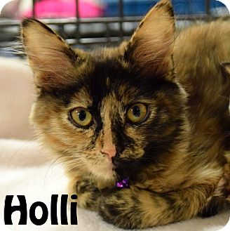 Domestic Mediumhair Kitten for adoption in Las Vegas, Nevada - Holli