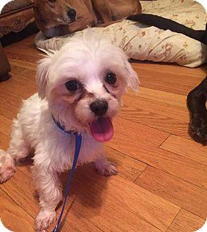 Maltese Dog for adoption in ROME, New York - Snowbelle