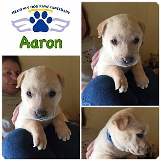 Catahoula Leopard Dog/Labrador Retriever Mix Puppy for adoption in Folsom, Louisiana - Aaron