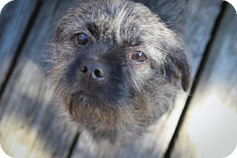 Schnauzer (Miniature)/Boston Terrier Mix Dog for adoption in Mary Esther, Florida - Avery