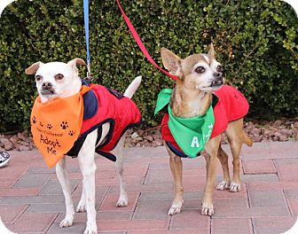 Chihuahua Mix Dog for adoption in Las Vegas, Nevada - PEANUT and POPCORN (CATS OK)