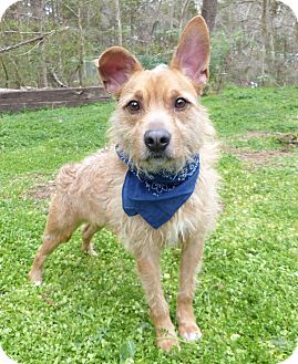 Terrier (Unknown Type, Medium) Mix Dog for adoption in Mocksville, North Carolina - Angus