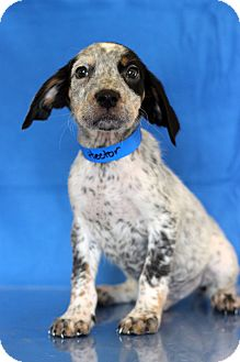 Coonhound Mix Puppy for adoption in Waldorf, Maryland - Hector