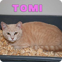 Domestic Shorthair Cat for adoption in San Angelo, Texas - Tomi