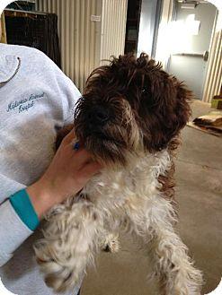Standard Schnauzer Dog for adoption in Holland, Michigan - Pluto
