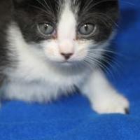 Adopt A Pet :: Callie - Robinson, IL