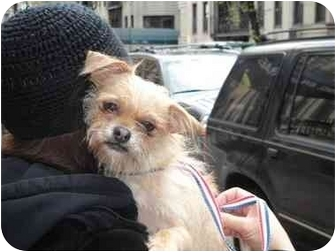 Brussels Griffon Mix Dog for adoption in Long Beach, New York - Zoe