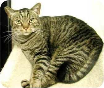 Domestic Shorthair Cat for adoption in San Diego, California - Jessie