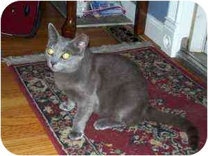 """Russian Blue Cat for adoption in Point Pleasant, New Jersey - """"Misty"""""""