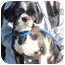 Photo 3 - Shih Tzu Dog for adoption in Osseo, Minnesota - Oreo