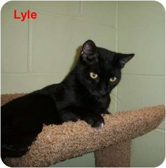 Domestic Shorthair Cat for adoption in Slidell, Louisiana - Lyle