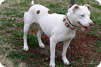 American Pit Bull Terrier Dog for adoption in Ridgely, Maryland - Reba