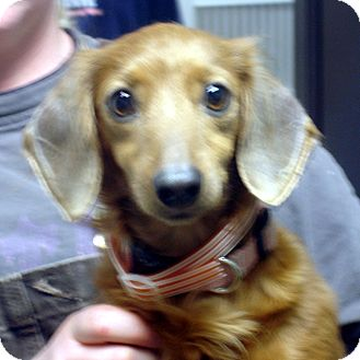 Dachshund Dog for adoption in Greencastle, North Carolina - Allie