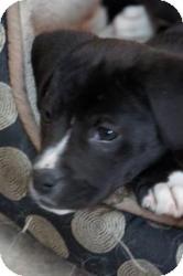 Boxer/Labrador Retriever Mix Puppy for adoption in Minneapolis, Minnesota - Haven