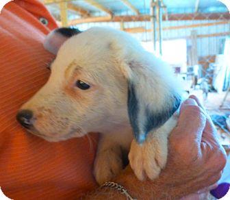 English Pointer/Springer Spaniel Mix Puppy for adoption in Katy, Texas - SKIPPY