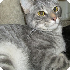 Domestic Shorthair Cat for adoption in Gilbert, Arizona - Chase