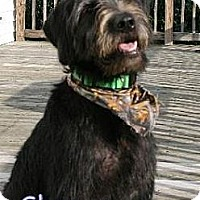 Adopt A Pet :: Lynchburg VA - Shaggy - Houston, TX