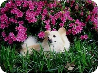 Pomeranian Dog for adoption in Roebuck, South Carolina - Charlie