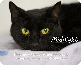 Domestic Shorthair Cat for adoption in Somerset, Pennsylvania - Midnight