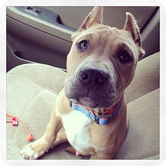 American Staffordshire Terrier Mix Dog for adoption in West Allis, Wisconsin - Oswald