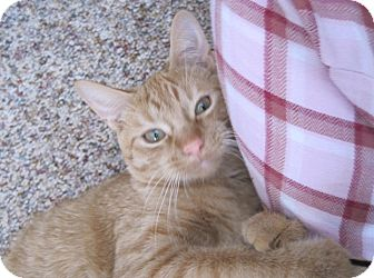 Domestic Shorthair Cat for adoption in Owatonna, Minnesota - Taco