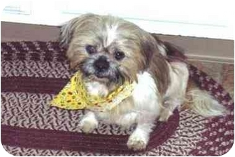 Shih Tzu Dog for adoption in Warwick, Rhode Island - Harry - He is a DOLL!