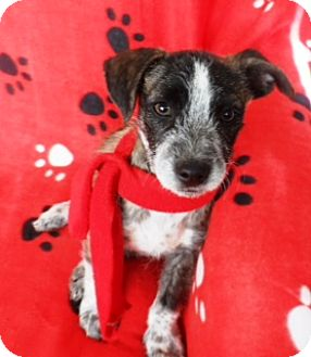 Cattle Dog Mix Puppy for adoption in Corona, California - SPARKY, toy Heeler?