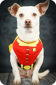 Chihuahua/Terrier (Unknown Type, Small) Mix Dog for adoption in Phoenix, Arizona - TriPAWd Petey
