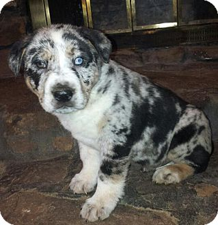 Australian Shepherd/Rottweiler Mix Puppy for adoption in SOUTHINGTON, Connecticut - Benny
