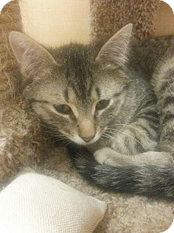 Domestic Shorthair Kitten for adoption in West Dundee, Illinois - Charles