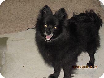 Pomeranian Mix Dog for adoption in Buffalo, Wyoming - Ladybug
